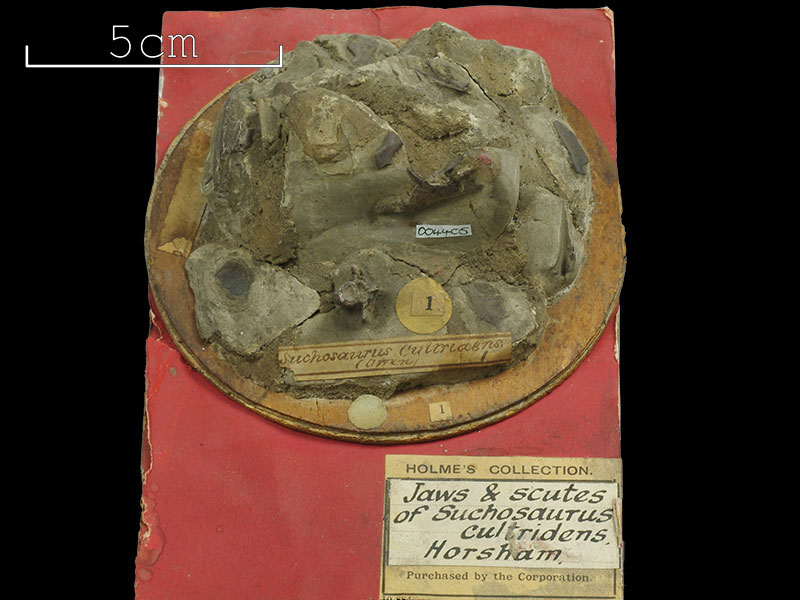 Holmes Collection - <i>Suchosaurus cultridens</i>
