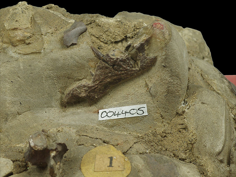 Holmes Collection - <i>Suchosaurus cultridens</i> jaw bone and tooth