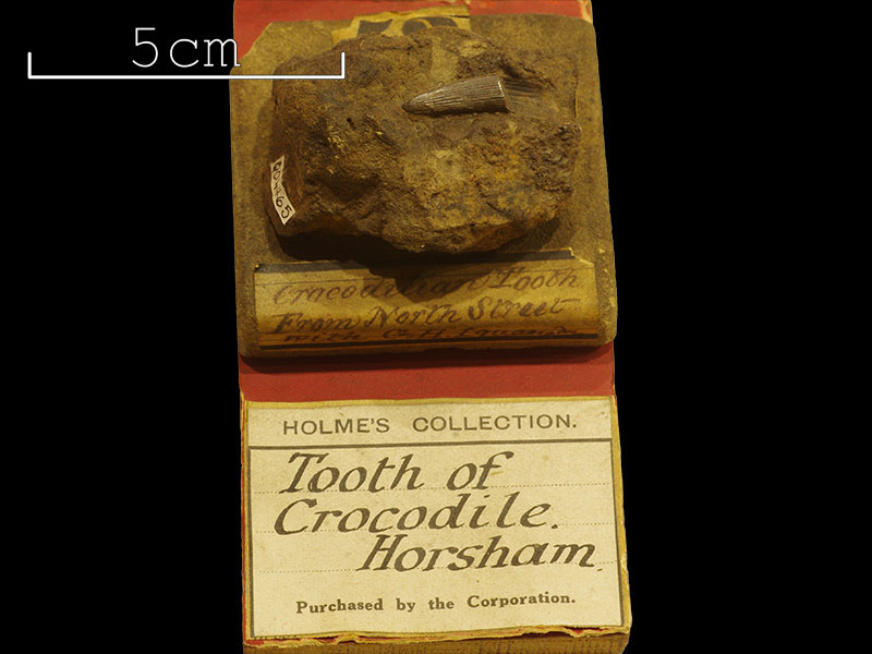 Holmes Collection - crocodilian tooth