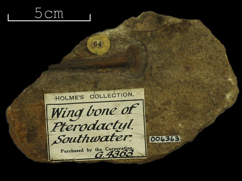 Holmes Collection - Pterodactyl wing bone