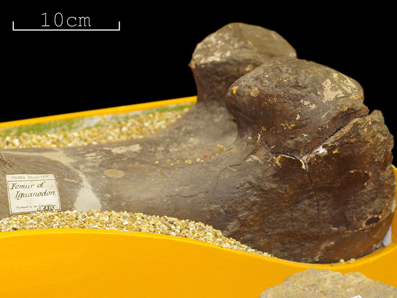 Holmes Collection - <i>Iguanodon</i> femur