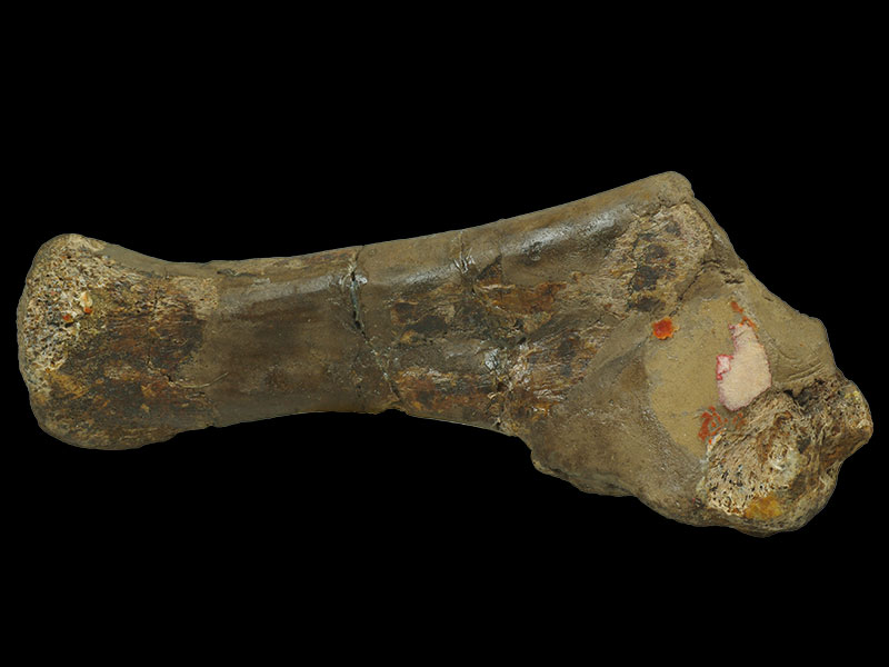 Holmes Collection - <i>Iguanodon</i> rib bone (lateral view)