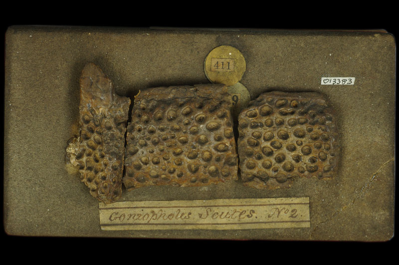 Holmes Collection - <i>Goniopholis crassidens</i> scutes