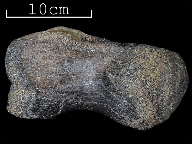Sauropod tail bone
