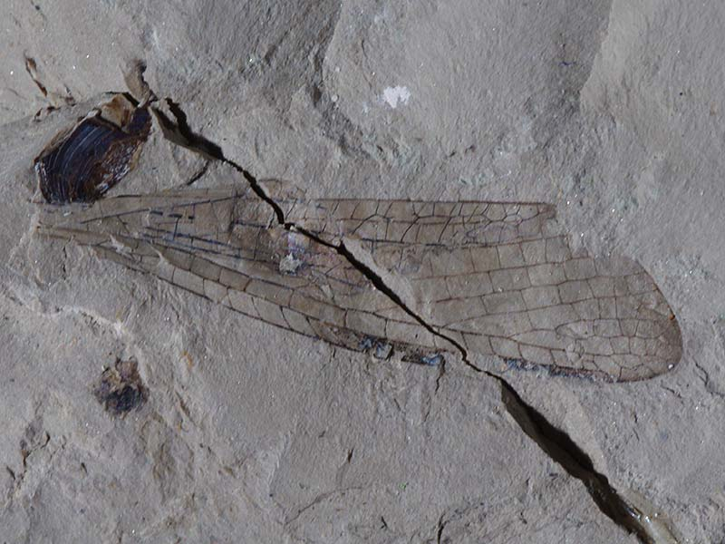 Insects: Odonata