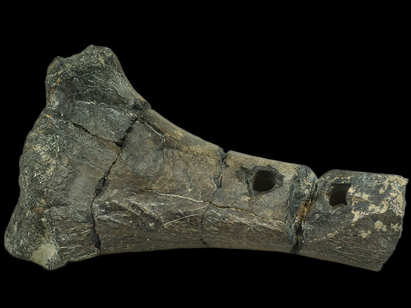 <i>Horshamosaurus</i> - right tibia
