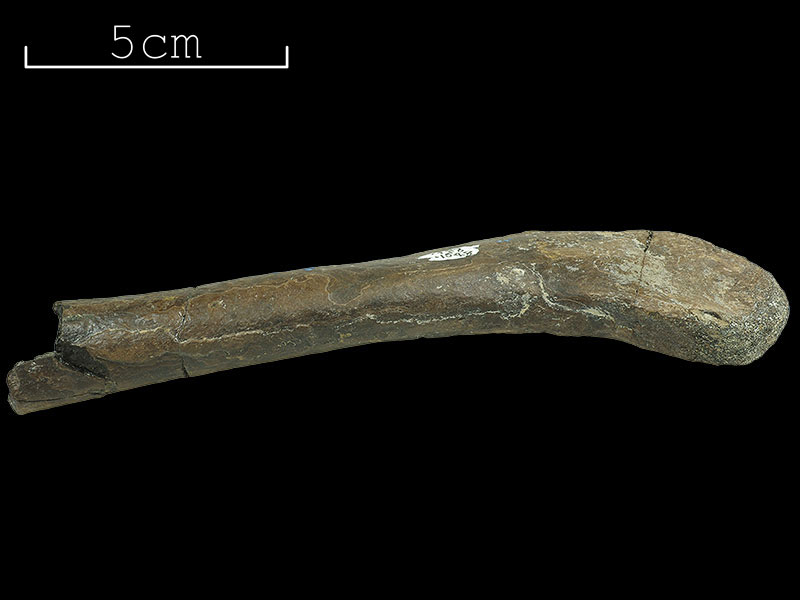<i>Horshamosaurus</i> - limb bone