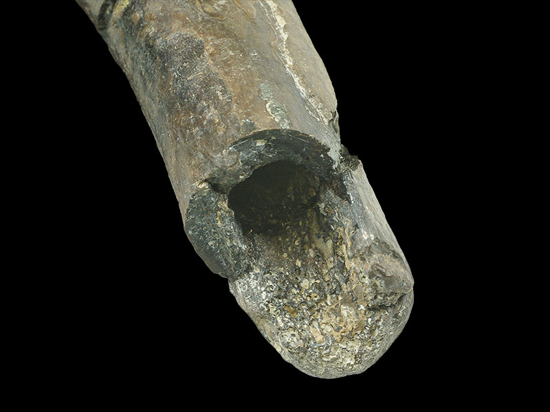 <i>Horshamosaurus</i> - limb bone (end view)