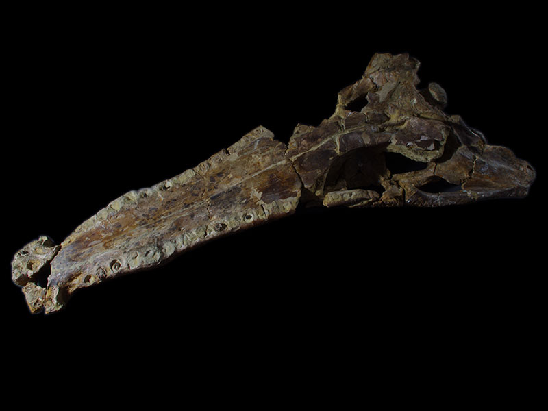 Crocodile skull from Cuckfield. (from below)