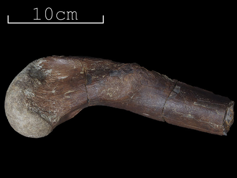 Baily collection - Crocodilian femur