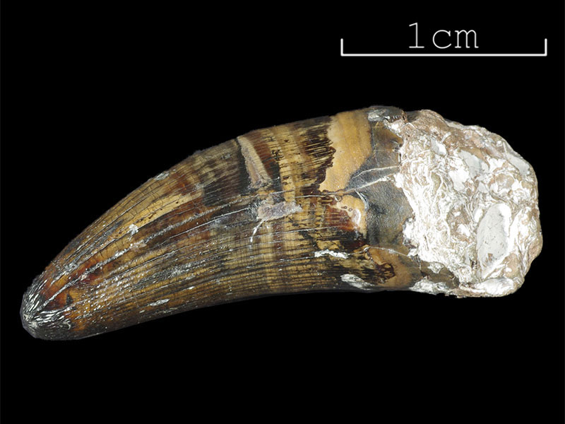 Baily collection - Crocodilian tooth